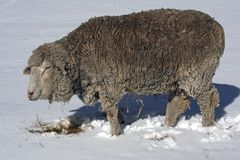 Sheep in Winter Stock Photography