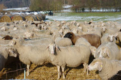 Sheep in Winter Stock Photo