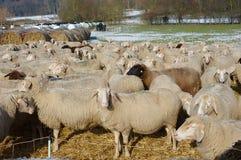 Sheep in Winter Stock Photo