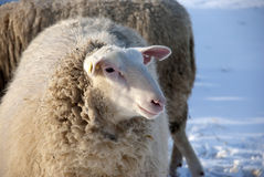 Sheep in Winter. Sheep on a meadow in winter Stock Photo