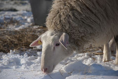 Sheep in Winter. Sheep on a meadow in winter rn Stock Images