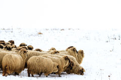 Sheep in Winter. A sheep herd grazing in winter stock photography