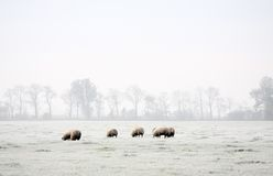 Sheep in winter. Grazing sheep in a white frosty field Stock Images