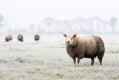 Sheep in winter. Grazing sheep in a white frosty field Royalty Free Stock Photography