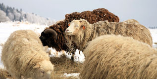 Sheep. Winter on the farm. Royalty Free Stock Photos