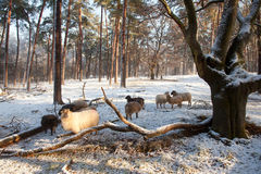 Sheep in winter forest in the netherlands Stock Image