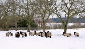 Sheep in winter garden Royalty Free Stock Image