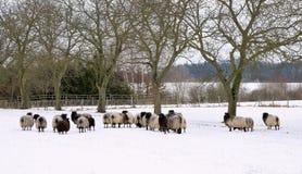 Sheep in winter garden Royalty Free Stock Image