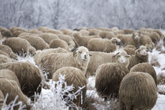Sheep winter. Sheep grazing in winter and curious Royalty Free Stock Image