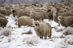 Sheep winter. Sheep grazing in winter and curious Royalty Free Stock Photography
