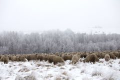 Sheep winter. Sheep grazing in winter and curious Royalty Free Stock Photos