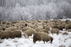 Sheep winter. Sheep grazing in winter and curious Royalty Free Stock Images
