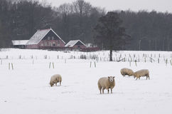 Sheep in winter Royalty Free Stock Image