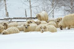 Sheep in winter landscape Royalty Free Stock Photography