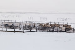 Sheep in winter on meadows. Landscape royalty free stock photography