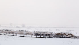 Sheep in winter on meadows. Landscape stock photos