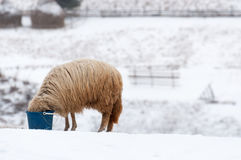 Sheep in winter on meadows Stock Photography