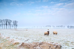 Sheep on winter pasture Royalty Free Stock Image