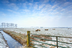 Sheep on winter pasture Royalty Free Stock Photo