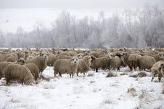 Sheep winter. Sheeps,wood winter, rural farm Stock Photos