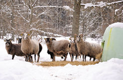 Sheep in winter time. A flock of sheep in winter season Royalty Free Stock Photos