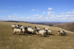 Sheep on the wolds Stock Image