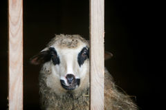 Sheep in wooden farm stable Royalty Free Stock Images