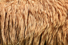 Sheep wool Royalty Free Stock Image