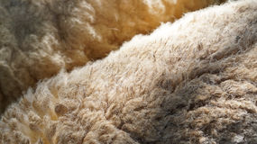 Sheep wool texture Stock Photos