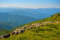 Sheep's pasture in the mountains Royalty Free Stock Photos