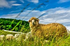Sheep. Yellow sheep with rich wool Royalty Free Stock Image