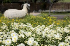 Sheep in yellow and white flowers Stock Photography