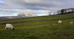 Sheep and Yorkshire Dales Stock Photos
