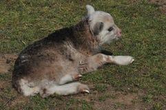 Lamb on meadow Stock Photo