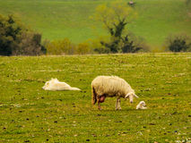 A sheep with a young lamb in a meadow royalty free stock photos