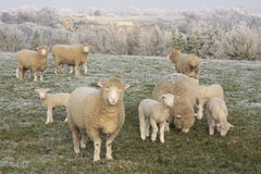 Sheep with young lambs. In frosty landscape Stock Photo