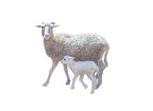 Sheep and young little lamb. On white background Royalty Free Stock Images