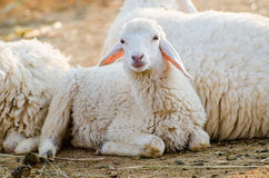 Sheep. Young sheep loll in the farm Stock Photos