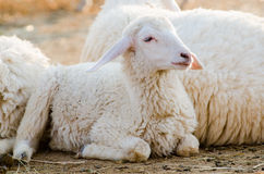Sheep Royalty Free Stock Images