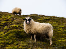 Sheep. Young sheep near Landmannalaugar (Iceland Stock Photography