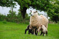 Sheep with young sheep Stock Photography