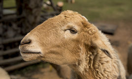 A Sheep Stock Photos