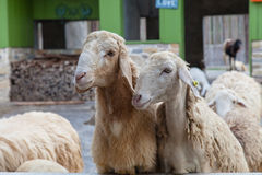 Sheep in the zoo. lamb livestock. Stock Photography
