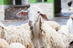 Sheep in the zoo. lamb livestock. Royalty Free Stock Image