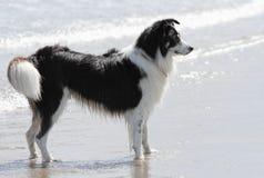 Sheepdog в море стоковые изображения rf