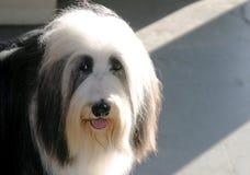 sheepdog застенчивый Стоковые Изображения RF