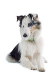 sheepdog Коллиы стоковые фотографии rf