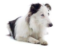 sheepdog Коллиы стоковое фото