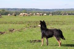 sheepdog овец табуна стоковые изображения rf