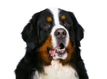 sheepdog портрета bern стоковое изображение